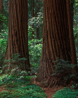 Two Redwoods